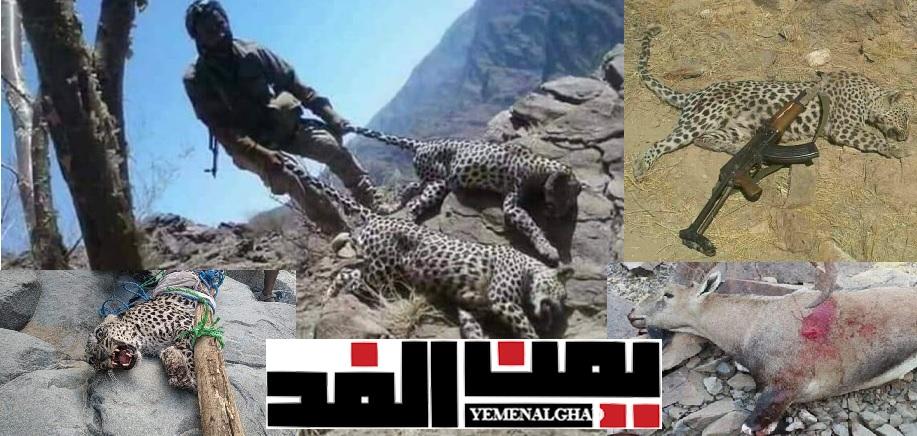 الاحتفال باصطياد الوعول والظباء تخلفا ثقافيا واغتيالا للحضارة اليمنية
