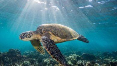 صورة تحركات بيئية لوقف مذابح السلاحف البحرية في اليمن ومنع انقراضها