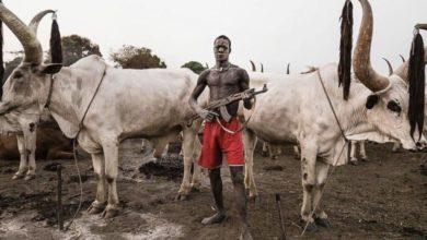 """صورة أكثر من 30 قتيلا وجريحا في هجمات بسبب """"الأبقار"""""""