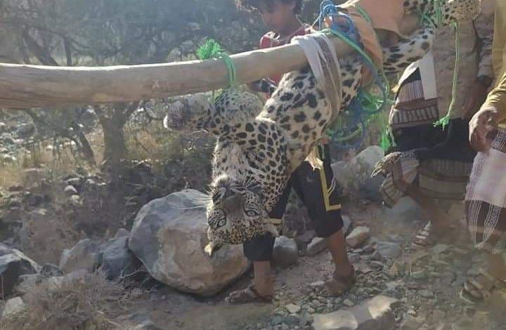 صورة شاهد بالصور.. كيف تم اصطياد حيوان مفترس نادر جنوب اليمن؟ والمبلغ الذي عرض لشرائه